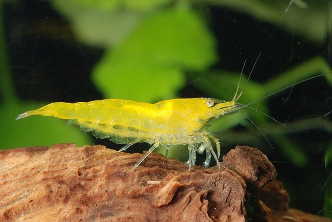 Shrimp Yellow